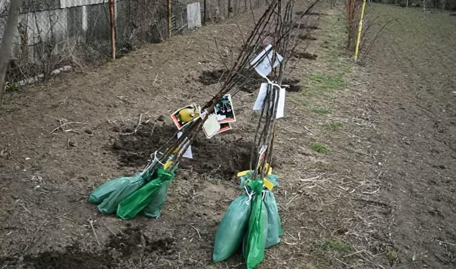 """Ce trebuie să știm atunci când plantăm pomii fructiferi toamna. Tehnica care ne asigură succesul """"prinderii"""" copacilor"""