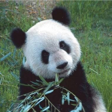 ... пандами анимированные аватарки 110х110: raepe-so.ucoz.net/blog/avatarki_s_pandami_animirovannye_avatarki...